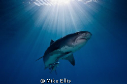 Female Tiger shark Sun Burst...Nikon D70, 10.5mm f2.8 by Mike Ellis 